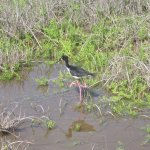 endangered Hawaiian Stilt