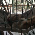 Sleeping 2 finger sloth
