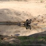 Hyena cooling down on 126