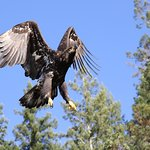 Juvenile Bald Eagle taking flight in Desolation Sound
