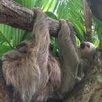Sloths in nature preserve.
