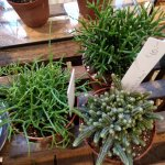 Cacti in the shop