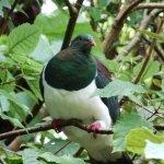 New Zealand Pigeon - near threatened