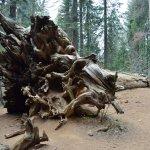 Photo of Tuolumne Grove of Giant Sequoias