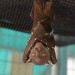 Bat masquerading as a leaf