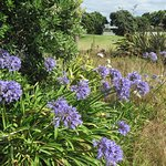 Some agapanthus on the grounds.