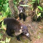 Coati are so cute!