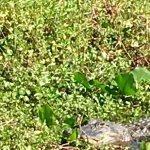 Alligator Cove Airboat Nature Tours Foto