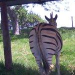 cebra real (viva)