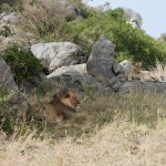 First pride of lions we saw