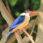 Malabar trogan and black capped king fisher