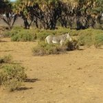The Zebra's taking a stroll. They ran away from us, we couldnt take an upclose picture