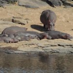 Hippos by the river, visible from the dining/lounging area