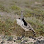Houbara Bustard looking arond to see if he had any female admirers during his display!