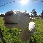Friendly sheep.