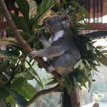 Koala (wakker!)