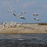 White pelicans near Jekyll Island