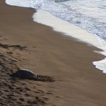Turtle sunning on beach at edge of resort.