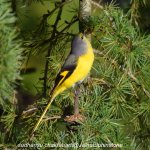 Orange Minivet (female)