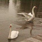 Beautiful swans!