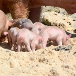 Two day old piglets came out to eat. Sandals Island Routes feeds them twice a day.