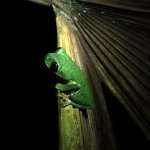 Red Eyed Tree Frog. Guided night rainforest hike.