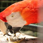 Close up red macaw