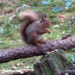 Red squirrel at the Wildlife Hide at The Lodge Forest Visitor Centre