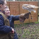 The barn owl called Paddy flying to glove for food