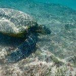 Sea Turtle at the adjacent Oneloa Bay