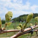 Bud break in the vineyard at Boyden Valley Winery