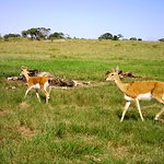 Oribi Antelope by the vulture restaurant