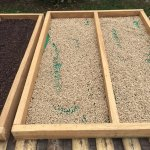 White peppercorns drying in trays
