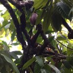Cacao pods in the wild