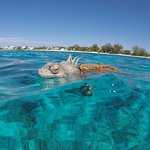 Iguana Floating in Water