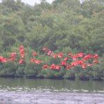 scaret ibises