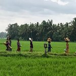 Villagers in the rice paddies
