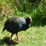 The 22-year old Takahe
