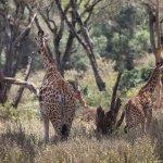 African Fund for Endangered Wildlife (Kenya) Ltd. - Giraffe Centre Foto