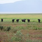 buffalos on the game drive