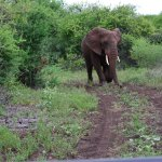 elephant matriach approaching the jeep