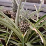 Pineapples growing
