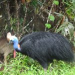 The cassowary bird