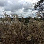 Ornamental grasses near walking trail