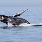 Breaching whale-just breathtaking!