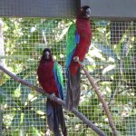 Fijian parrots
