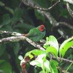 parrot-finch