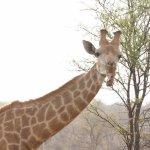 Giraffe enjoying a bone