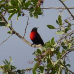 Scarlet Breasted Sunbird on the drive up to the property.
