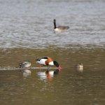 Shelduck & Teal at Lackford Lakes